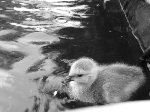 Gretsky the gosling.