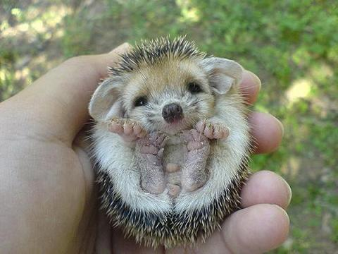 A baby African pygmy hedgehog.