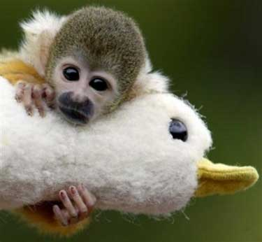 Tiny monkey hugging a stuffed duck.